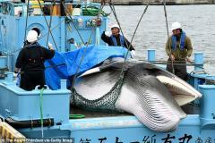 В Исландии отменен летний вылов китов из-за падения спроса на их мясо в Японии