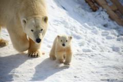 Second polar bear was born in the Yakut zoo
